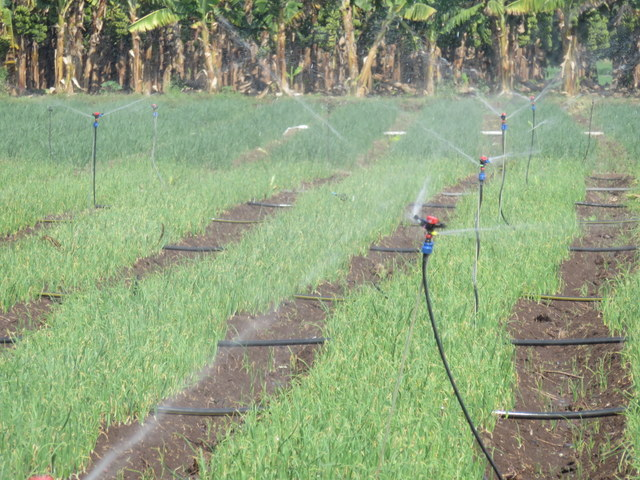 Growing_Onions_w__Combined_Irrigation__Micro_and_Sprinklers_in_India___2015-1
