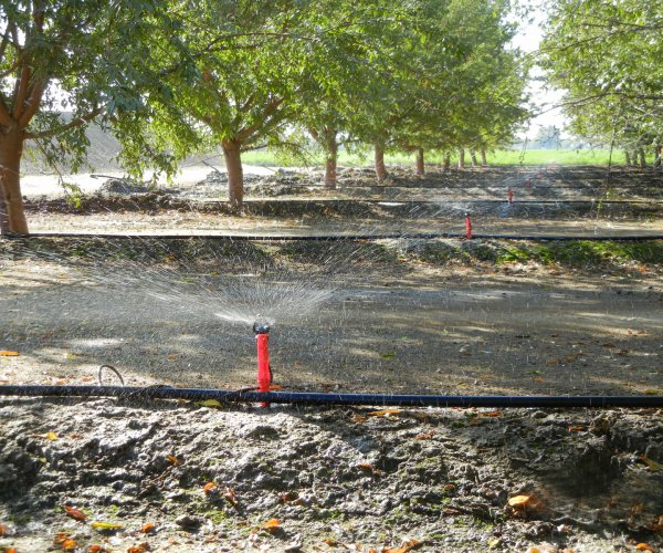 Almonds_irrigation_with_Micro_Sprinklers-3-1