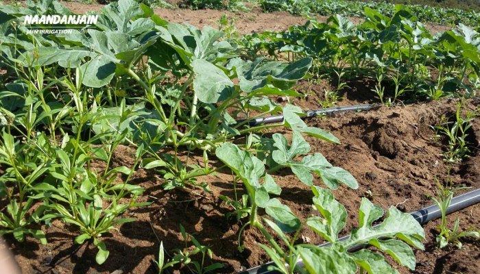 Irrigated_watermelon_with_Drip_Irrigation_Brazil-1 (1)