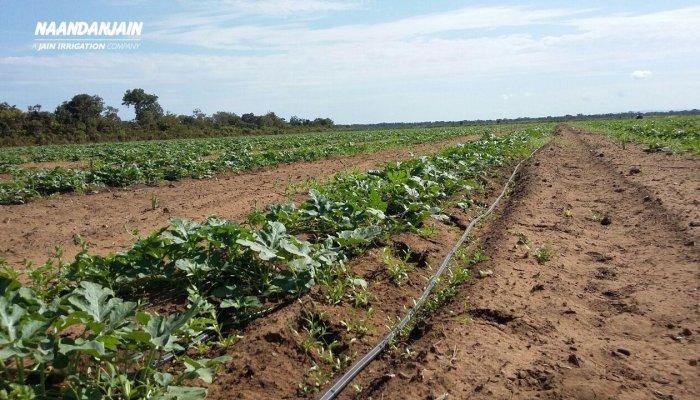 Irrigated_watermelon_with_Drip_Irrigation_Brazil-1
